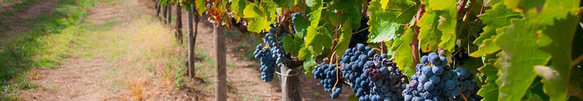 vini della campania